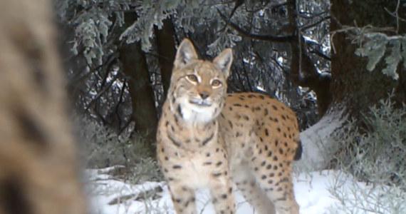 Trzy rysie, bardzo rzadkie drapieżniki w polskich górach, uchwyciła wideopułapka umieszczona w Babiogórskim Parku Narodowym - powiedział PAP przyrodnik parku Maciej Mażul.