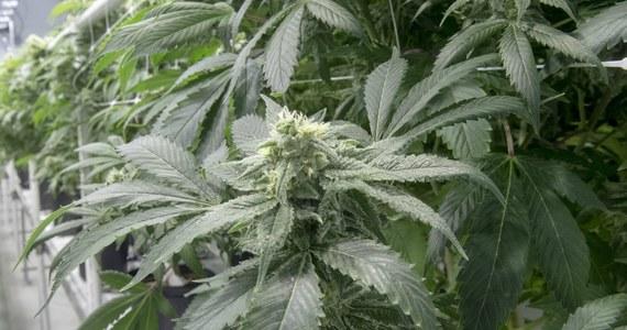 """Farmaceuci mają kłopot z zamówieniem suszu Cannabis sativa, z którego produkuje się leki zawierające medyczną marihuanę. Partii wprowadzonej w tym roku na rynek, kończy się data ważności, a nowa nie została jeszcze zwolniona do obrotu - pisze wtorkowa """"Rzeczpospolita""""."""