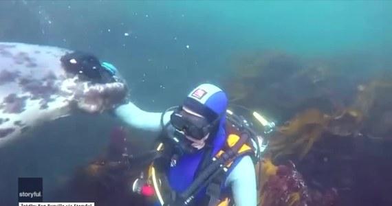 """Nurek Ben Burville podczas jednej ze swoich podwodnych wypraw miał wyjątkowe szczęście. """"Przyczepiła"""" się do niego foka. Ciekawskie zwierzę ocierało się o mężczyznę i wręcz nie chciało puścić! Ekspert ostrzega, że mimo """"psiej"""" natury, fok nie powinno się dotykać ze względu na specyficzne bakterie, które mogą być groźne dla człowieka."""
