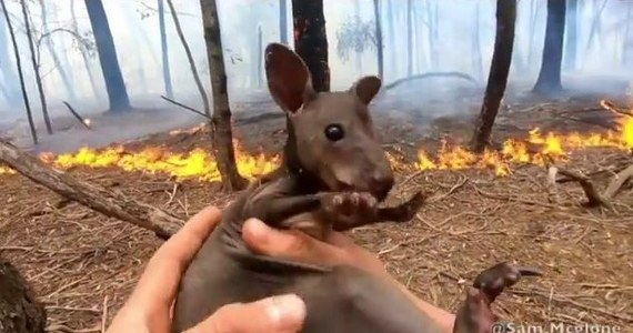 Strażak ochotnik, gaszący pożary buszu w Nowej Południowej Walii, uratował małego kangura. Zwierzątko schowało się pod kawałkiem drewna. Na szczęście 24-letni Sam McGlone wypatrzył malucha. Moment ten zarejestrowała kamera. Film strażak umieścił na Instagramie.