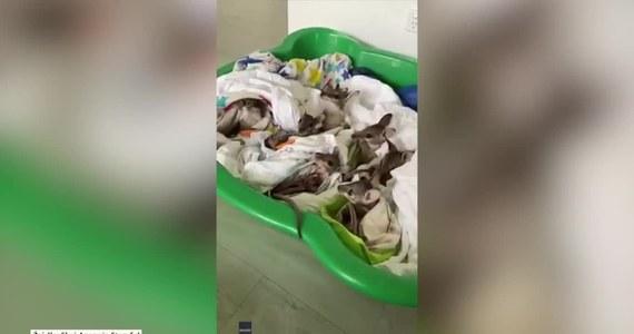 Nowo narodzone kangury przechodzą rehabilitację w ośrodku dla zwierząt w mieście Cairns na północy Australii. Zdaniem weterynarzy, matki młodych ucierpiały w wyniku pożarach buszu szalejących na kontynencie. Część z nich mogła porzucić noworodki ze względu na szok spowodowany oparzeniami. Pożary w Australii objęły do tej pory ponad 8 milionów hektarów buszu i zabiły co najmniej 25 osób.