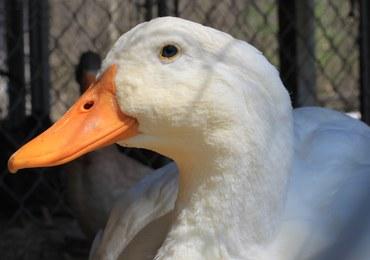 4000 zagłodzonych kaczek. Areszt dla właściciela fermy