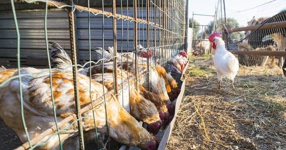 Jest podejrzenie ptasiej grypy w dwóch gospodarstwach w powiecie ostrowskim w Wielkopolsce. W miejscowości Słaborowice padło 21 tys. kaczek i kaczorów, a w gospodarstwie w Ostrowie Wielkopolskim - 9 tys. kaczek.