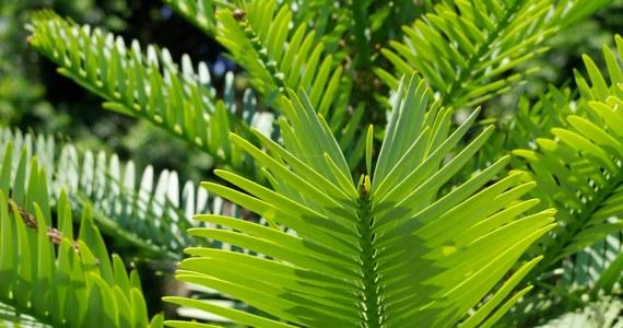 W związku z klęską wielkich pożarów w Australii przeprowadzono bezprecedensową akcję ratowania zagrożonych gatunków drzew. Akcją objęte zostało ostatnie na świecie siedlisko sosny Wollemi, gatunku sprzed 150 milionów lat - odkrytego przez naukowców zaledwie 24 lata temu.
