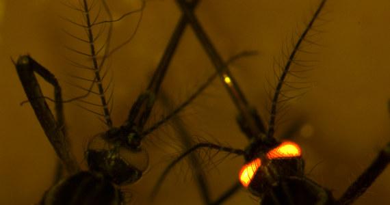"""Naukowcy z Australii i Stanów Zjednoczonych zmodyfikowali genetycznie komara tak, że nie jest w stanie przenosic żadnego z czterech typów groźnego wirusa dengi. To szansa na opanowanie groźnej choroby, która każdego roku atakuje blisko 400 milionów osób. Badacze z australijskiej agencji CSIRO (Commonwealth Scientific and Industrial Research Organisation), University of California w San Diego i Vanderbilt University Medical Center piszą o tym na łamach czasopisma """"PLOS Pathogens"""". Trwają próby rozszerzenia odporności komarów na inne groźne patogeny w tym wirusy Zika, żółtej febry i chikungunia."""