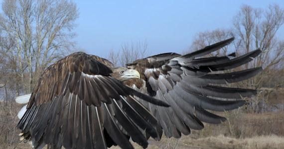 W Nadleśnictwie Prudnik znaleziono otrutego bielika - poinformował rzecznik prasowy Regionalnej Dyrekcji Lasów Państwowych w Katowicach. Zdaniem leśników, ktoś celowo podrzuca ptakom zatrutą karmę.