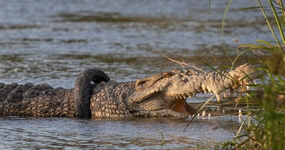 Śmiałek poszukiwany! Władze indonezyjskiej prowincji Celebes Środkowy apelują do myśliwych, by pomogli 4-metrowemu krokodylowi uwolnić się od nietypowego balastu – opony motocyklowej, która od kilku już lat tkwi wokół jego karku.