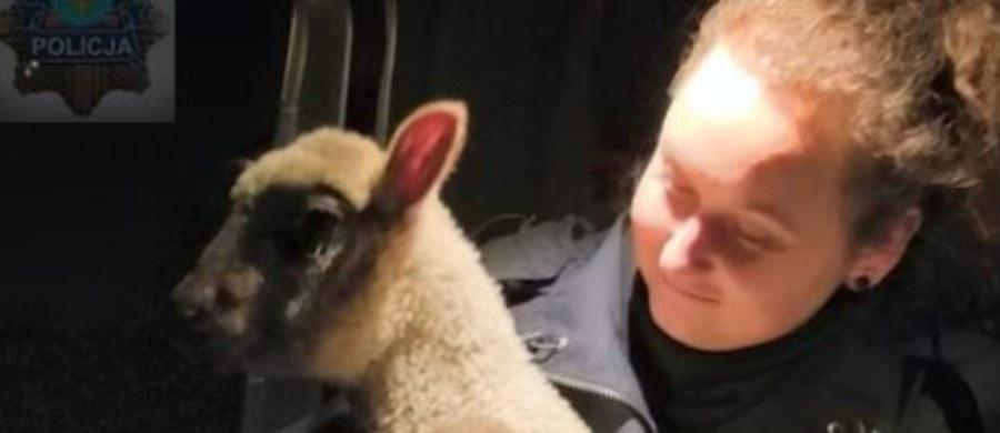 Policjanci z Opola uratowali zagubioną owieczkę, która w nocy błąkała się po skrzyżowaniu w pobliżu centrum handlowego - poinformowało biuro prasowe KW Policji w Opolu.