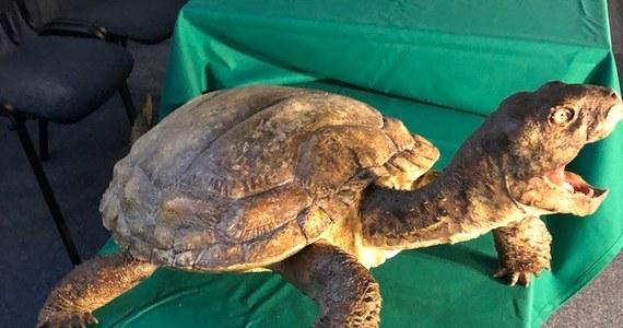 Polscy naukowcy stworzyli model jednego z najstarszych żółwi świata. Zrobili to na podstawie szczątków znalezionych w Porębie koło Zawiercia.