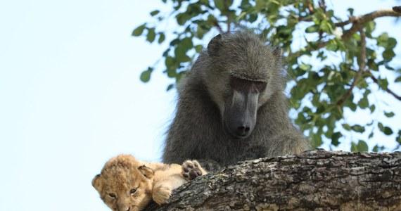 """Pawian przemieszczający się z drzewa na drzewo w Parku Narodowym Krugera w Afryce Południowej jest widokiem naturalnym. Pawian trzymający w objęciach lwiątko to już coś niespotykanego. Taki moment uchwycił przewodnik po parku Kurt Schultz. Film opublikowany przez niego w mediach społecznościowych jest hitem internetu. Widać na nim, jak pawian """"zaadoptował lwiątko"""" i iska jakby to był jego własne potomstwo."""