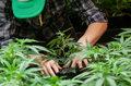 Handel marihuaną - Polacy zatrzymani w Hiszpanii
