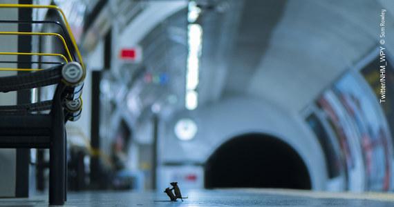 Zdjęcie pokazujące myszy walczące na jednej z londyńskich stacji metra, wykonane przez Sama Rowleya, zostało uznane przez internautów za najlepszą fotografię roku w corocznych konkursie organizowanym przez Muzeum Historii Naturalnej w Londynie.
