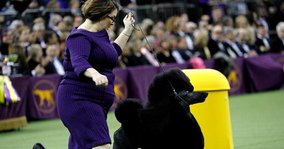 Suczka rasy pudel o imieniu Siba zwyciężyła na tegorocznej wystawie psów w Madison Square Garden w Nowym Jorku. O tytuł najlepszego psa ubiegało się ponad 2,5 tys. czworonogów.