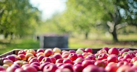 Pilnej kontroli NIK w sprawie interwencyjnego skupu jabłek domagają się posłowie Platformy Obywatelskiej. Jak dowiedział się reporter RMF FM, gotowy jest już wniosek w tej sprawie do Izby. Ministerstwo rolnictwa powierzyło skup prywatnej firmie Eskimos, która kupiła od rolników mniej owoców, niż zakładano, opóźniała się z wypłatami dla rolników, a ostatecznie nie spłaciła 100 milionów złotych rządowego kredytu.