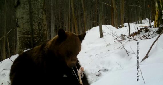 Przyrodnicy ze słowackiego Tatrzańskiego Parku Narodowego (TANAP) zaobserwowali na śniegu w dolinach pierwsze ślady niedźwiedzi, które po zimowym śnie zaczęły żerować w poszukiwaniu pokarmu – poinformowały władze TANAP na swojej stronie internetowej.
