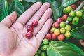 W takich miejscach rośnie najlepsza kawa