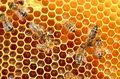 Genetycznie modyfikowane bakterie ratunkiem dla pszczół