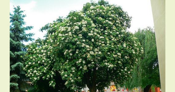 Do końca lutego trwa internetowe głosowanie w plebiscycie, który wyłoni Europejskie Drzewo Roku. Wśród 16 kandydatów z różnych krajów Starego Kontynentu jest czarny bez z Rzeszowa, który przyjął rzadko spotykaną formę drzewiastą – podali ekolodzy z Klubu Gaja.