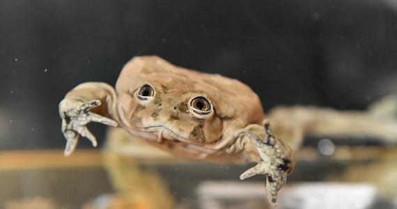 Dla jednych żaba z Titicaca to najbrzydsza żaba na świecie, dla innych najpiękniejsza. Niestety, na skutek działalności człowieka, żaby te są skrajnie zagrożone wyginięciem. Żaby z Titicaca od dziś można podziwiać we wrocławskim ogrodzie zoologiczny.