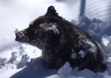 Grizzly Boo budzi się ze snu zimowego. Zobacz to!