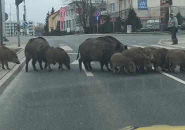 Rodzina dzików na ulicach Olsztyna. Im koronawirus nie jest straszny
