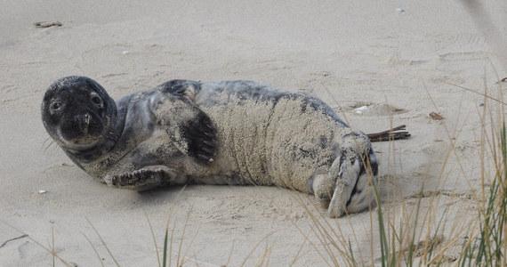 Funkcjonariusze Straży Granicznej z Krynicy Morskiej uratowali młodego samca foki. Odwodnione i wychudzone zwierzę znaleźli w czasie patrolowania polsko-rosyjskiej granicy państwowej niedaleko miejscowości Piaski na Mierzei Wiślanej. Foczka trafiła na rehabilitację i otrzymała imię Słupek.