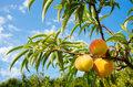 Hiszpania: Zbiór owoców pod znakiem zapytania