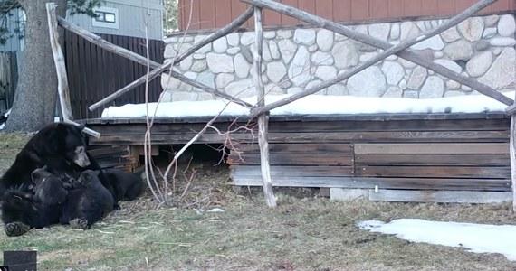 """Ta niedźwiedzia rodzinka bez cienia wstydu """"przejęła"""" opuszczony dom w kalifornijskim South Lake Tahoe. Mama i jej maluchy zdawały się miło spędzać czas na zewnątrz, a dla niektórych znalazła się nawet przekąska. Właściciel posiadłości poprosił autorkę nagrania, by miała oko na nietypowych sąsiadów. Uroczy obrazek?"""