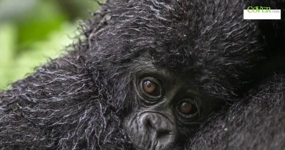 15 maja przypada Dzień Zagrożonych Gatunków. Dzięki swoim niesamowitym zdjęciom, brytyjski fotograf Paul Goldstein przybliża nas choć trochę do zwierząt, o które dbać musimy w wyjątkowy sposób. Projekt ma na celu zwrócenie uwagi na fakt, że w czasie pandemii koronawirusa problem ginących gatunków schodzi na dalszy plan. W tym dniu, ale i nie tylko, warto dokonać wpłaty na fundację lub stowarzyszenie zajmujące się tym tematem. Dbajmy o dzikie zwierzęta!