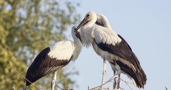 Po 600 latach białe bociany wracają na Wyspy Brytyjskie. Jak donoszą tamtejsze media, ornitolodzy mają powód do radości.
