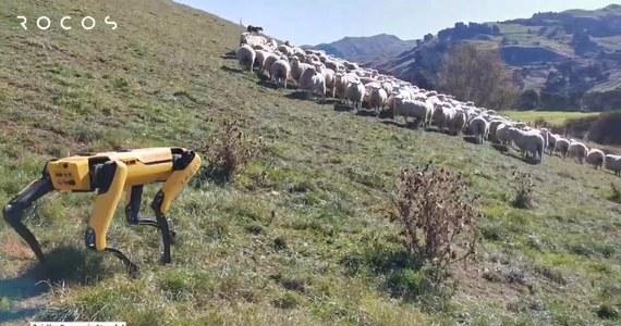 Robot-pies jest testowany do pomocy w działalności rolniczej w Nowej Zelandii. Maszyna o nazwie Spot potrafi m.in. pilnować stada owiec i monitorować sad. Testy są prowadzone przez nowozelandzką firmę Rocos, w celu zautomatyzowania pracochłonnych zadań rolniczych. Robot-pies został wyprodukowany przez firmę Boston Dynamics. Maszyna potrafi m.in. wspinać się na schody i utrzymywać równowagę w trudnym terenie. Robot Spot jest również wykorzystywany w parku Bishan-Ang Mo Kio w Singapurze, gdzie pilnuje, aby spacerowicze przestrzegali zasad dystansu społecznego.