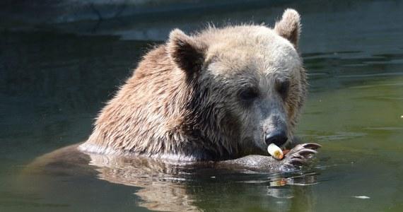 Dwie niedźwiedzice z warszawskiego ZOO, które żyją na wybiegu przy Al. Solidarności, zostaną przeniesione do wnętrza ogrodu. Dyrekcja ZOO i władze miasta podjęły taką decyzję, po tym, jak w ubiegły czwartek na wybieg wtargnął pijany mężczyzna.