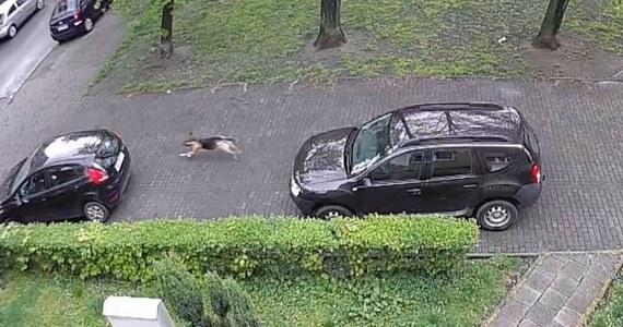 Policja z Chorzowa namierzyła sprawcę zniszczenia co najmniej kilkunastu opon w samochodach. Na jednym z parkingów przy ul. Farnej od dwóch miesięcy niszczone były opony. Sprawca nie usłyszy jednak zarzutów, bo jest… psem.
