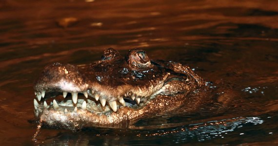 Najstarsze zwierzę spośród żyjących w ogrodach zoologicznych w Europie mieszka w zoo w Płocku. To aligatorzyca Marta, która obchodzi właśnie 90. urodziny. Z tej okazji jubilatka otrzymała w prezencie tort z ryb i wołowiny. Były też życzenia dwustu lat życia.