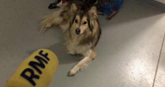 """""""Wracamy do normalności. Z dnia na dzień odbywa się coraz więcej adopcji"""" - przyznają w rozmowie z RMF FM pracownicy Schroniska dla bezdomnych zwierząt w Dyminach pod Kielcami. Na nowych właścicieli czeka tam prawie sto zwierząt."""