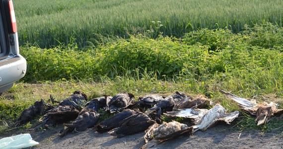 Pracownicy Schroniska dla zwierząt w Krotoszynie wspólnie z policją przeszukali pole w Wielowsi, gdzie w niedzielę znaleziono martwe ptaki. Łącznie zabezpieczono 30, w tym bardzo rzadkie - kanię rudą i orła bielika - informuje na profilu społecznościowym krotoszyńskie schronisko.