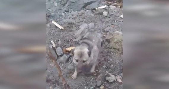 Ten pies to prawdziwy szczęściarz. Suczka Raya przeżyła osunięcie się kawałku lądu do morza w pobliżu miejscowości Alta na północy Norwegii. Morze pochłonęło 8 budynków i przyczepę kempingową. Na szczęście nikt nie został ranny. Psiak został bezpiecznie przetransportowany helikopterem.