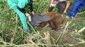 Niedźwiadek uwięziony w sidłach. Weterynarze przybyli w porę