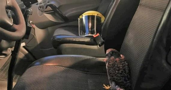 Nietypowa interwencja ratowników z radomskiego pogotowia, który uratowali młodego myszołowa. Ptak prawdopodobnie wypadł z gniazda.