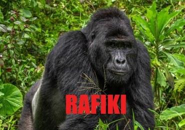 Kłusownicy zabili goryla Rafikiego. Aresztowano cztery osoby