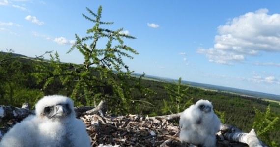 Niespodziankę sprawiły leśnikom z zachodniopomorskiego ptaki drapieżne. W gnieździe zbudowanym w lesie pod Chojną z myślą o rybołowach, pojawiły się sokoły wędrowne. Oba gatunki są w Polsce ekstremalnie rzadkie.