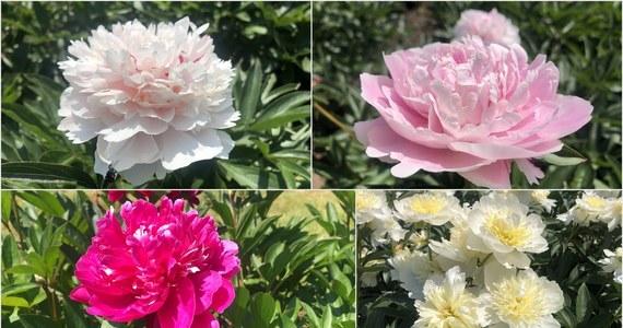 Co prawda królowa kwiatów jest tylko jedna, ale mamy wrażenie, że róży po piętach depcze piwonia. A te w pełnej krasie właśnie można podziwiać w łódzkim ogrodzie botanicznym.