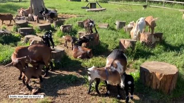 Porę karmienia na pewnej farmie w Maine cieżko przegapić. 61 niedawno urodzonych kózek spędza noce z dala od swoich mam, a rano z całych sił wydają dźwięki domagając się od nich śniadania. Posłuchajcie sami!