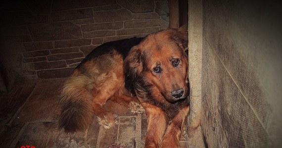 Olsztyński sąd zdecydował o tymczasowym aresztowaniu na trzy miesiące Daniela D. podejrzanego m.in. o znęcanie się ze szczególnym okrucieństwem nad zwierzętami. To druga osoba związana ze schroniskiem w Radysach na Mazurach, której przedstawiono zarzuty.