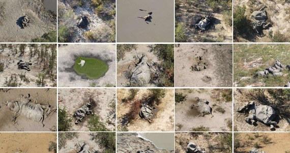 """Naukowcy nie mają wątpliwości - w Botswanie doszło do """"katastrofy"""" w kwestii ochrony zwierząt. Setki słoni padły w ostatnim czasie w tym afrykańskim kraju. Co gorsza, przyczyna masowych zgonów nie jest znana."""
