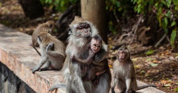 Część brytyjskich supermarketów zrezygnowała ze sprzedaży wody kokosowej i oleju kokosowego po tym, jak okazało się, że produkty zostały wytworzone z owoców zbieranych przez małpy - poinformował  serwis BBC News.