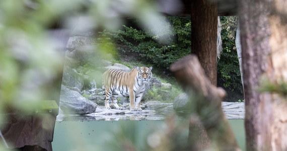 Tygrys syberyjski zabił w sobotę 55-letnią pracownicę ogrodu zoologicznego w Zurychu. Mimo interwencji innych pracowników zoo, akcji ratunkowej i prób reanimacji ranna opiekunka tygrysicy zmarła.