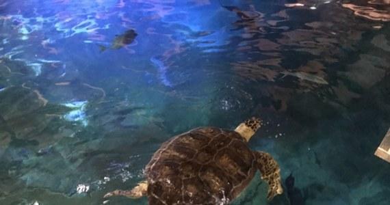 36-letni Stefan okazał się być… Stefanią. Żółw morski z wrocławskiego zoo jest jednak samicą. Tą zaskakującą wiadomość - po dokładnych obserwacjach - przekazały władze ogrodu.