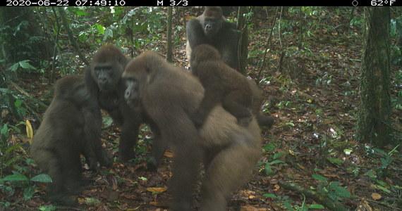 Po raz pierwszy od lat udało się sfotografować zagrożone wyginięciem goryle Cross River. Zdjęcia grupy małp naczelnych z młodymi zrobiła fotopułapka ustawiona w lasach górzystych terenów południowej Nigerii.