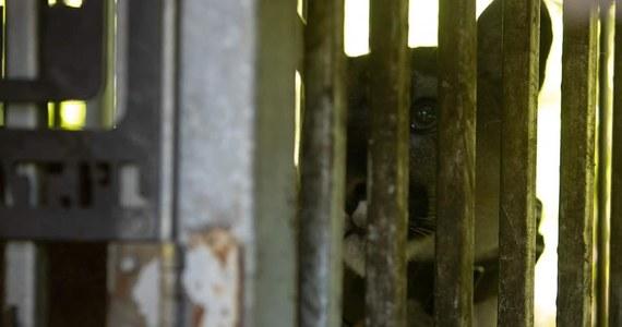 Puma i jej właściciel są nadal nieuchwytni. Policja wciąż poszukuje mężczyzny, który w piątek w Ogrodzieńcu w Śląskiem uciekł z pumą po nieudanej próbie przejęcia zwierzęcia przez pracowników poznańskiego zoo. Zgodnie z postanowieniem sądu, puma miała trafić do ogrodu zoologicznego.